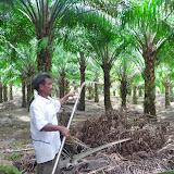 アブラヤシ農園にて:アブラヤシ収穫時に使用される鎌の使い方について説明してくれるアブラヤシ小農の男性