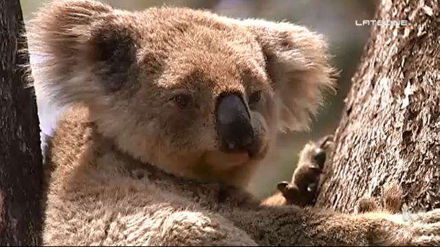 The koala is a threatened species. The dramatic ongoing loss of Australian animal and plant species has prompted influential scientists to call on governments to start making tough decisions about which ones to save - and which species should be left to face extinction. Photo: ABC