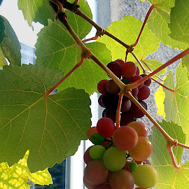 Grapes on the Vine by Tamsin Carlisle - Food & Drink Fruits & Vegetables ( red, grapes, green, vine, ripen, leaves, hang )