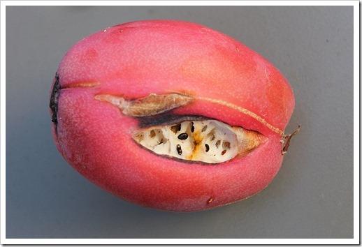 111203_cereus_hildmannianus_fruit2
