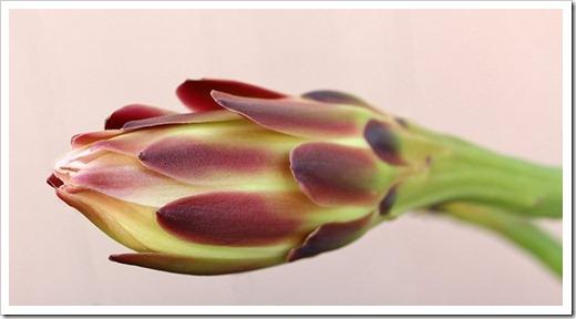 110815_Cereus-hildmannianus-413pm