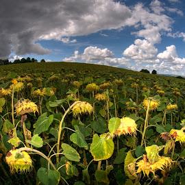 dissapointed by Danielle Baron - Landscapes Prairies, Meadows & Fields ( sunflowers, prairies, france, sun, auvergne )
