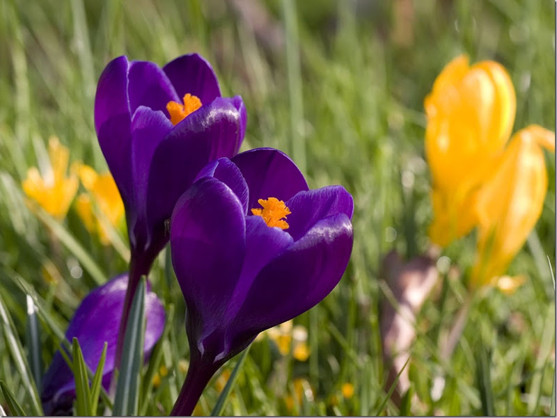 Image; Crocus, February - March. Spring-Crocus-Purple