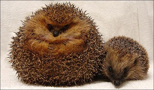 large_hedgehog