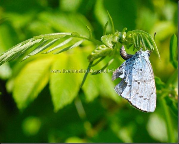 sunnuntain ötökkä kuvat outo perhonen toukka 083