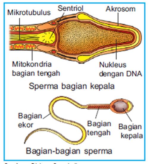 Bagian - bagian sel sperma