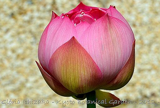 Glória Ishizaka - Flor de Lótus -  Kyoto Botanical Garden 2012 - 13