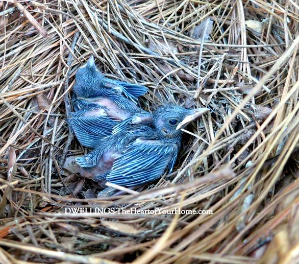 catbird babies