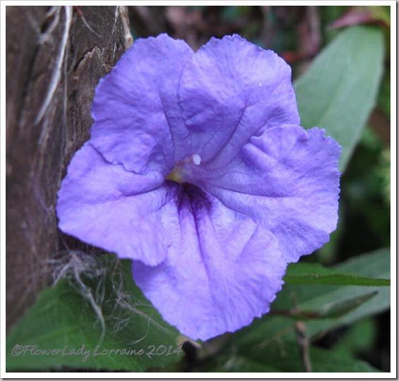 03-07-philippine-violet