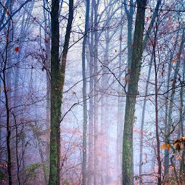 Misty Blue by Trent Eades - Landscapes Forests ( color, path, forest, morning, woods, mist )