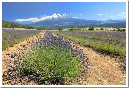 120720_mt_shasta_lavender_farm_069
