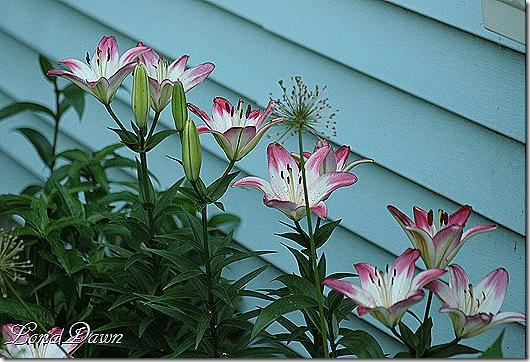 Lilies_Lolipop_June7