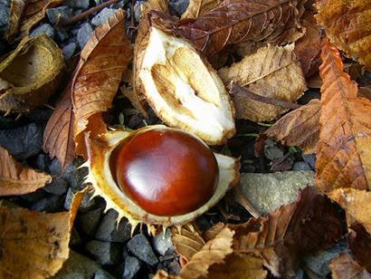Horse Chestnut fruit