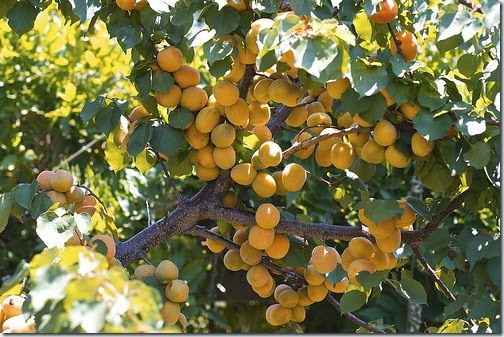 moorpark-apricot-tree-4131