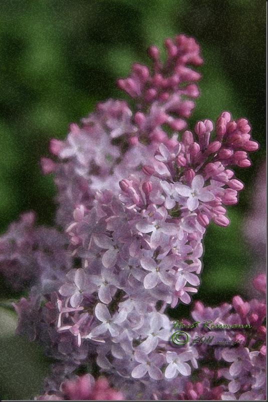 Lilacs mine