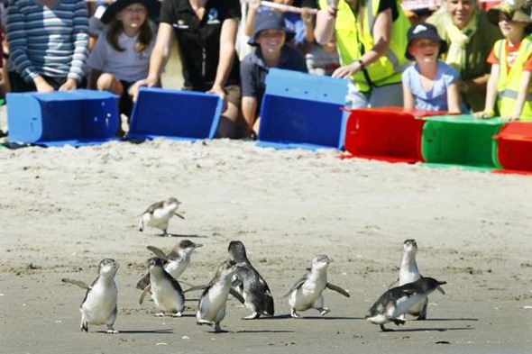 A group of Little Blue Penguins are released in Mount Maunganui. The penguins were being kept at the Oiled Wildlife Facility following the Rena spill 01
