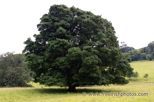 large_lone_oak_tree_1