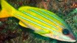 Réunion-Mayotte vivaneau à raies bleues