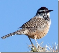 Cactus wren on cholla 10-18-2010 8-14-005