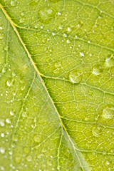 Close Up Leaf & Water Drops