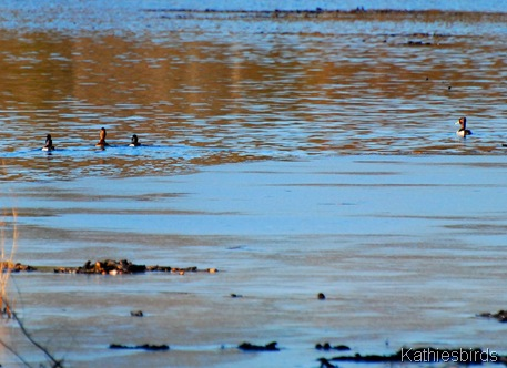 11. ring-necked ducks-kab