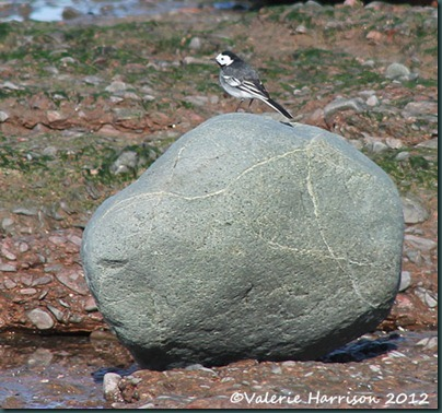 44-pied-wagtail