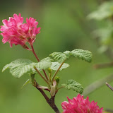 Groseillier à fleurs, Ribes sanguineum