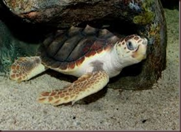 Amazing Pictures of Animals Caretta Caretta  Loggerhead sea turtle.Alex (1)