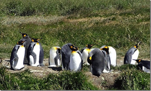 King_Penguins_DSC00997