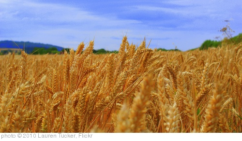 'Wheat Field' photo (c) 2010, Lauren Tucker - license: http://creativecommons.org/licenses/by-nd/2.0/