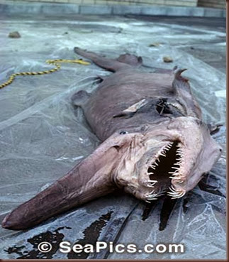 Amazing Animal Pictures Goblin Shark (5)
