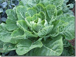 collards plant