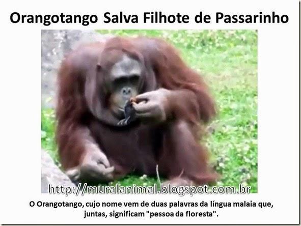 Orangotango Salva Filhote de Passarinho