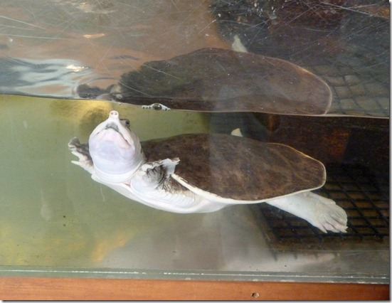 Reptile Zoo - Jolly the Florida Soft Shell Turtle