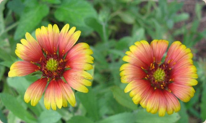 09-25-blanket-flower