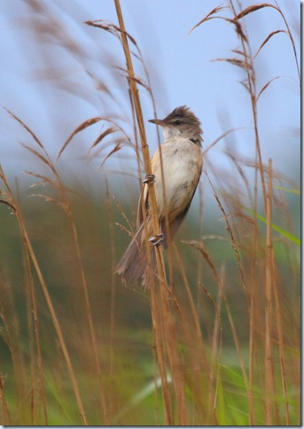 gt_reed_warbler