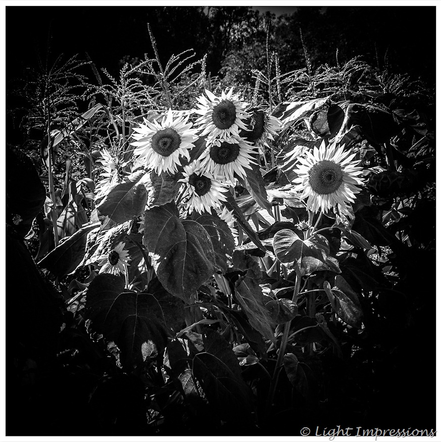 Light Impressions-Sunflowers