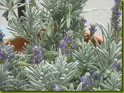 lavendar study february 2012 d