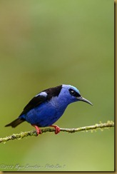 Red-legged Honeycreeper - Cyanerpes cyaneus,