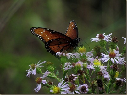 butterfly at Corkscrew Swamp