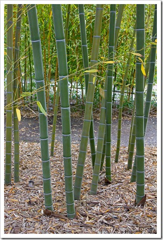 120427_FoothillBG_Phyllostachys-edulis_08