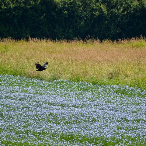 crow flying low over a field of flax