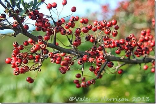 22-hawthorn-berries