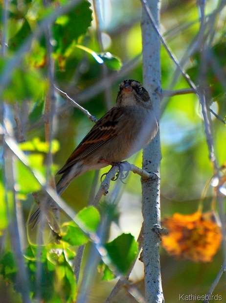 8. Chipping sparrow-kab