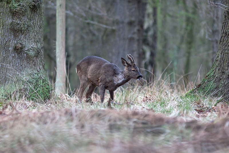 Roe Deer_Canon 300mm f4
