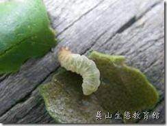 半透明的水螟蛾幼蟲
