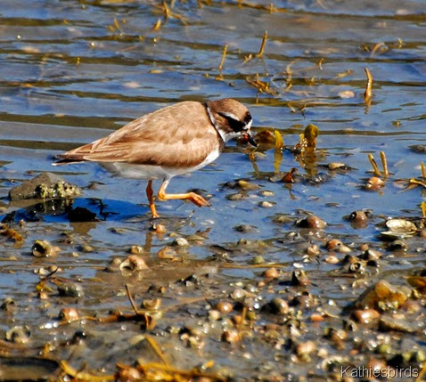 7. plover foraging-kab