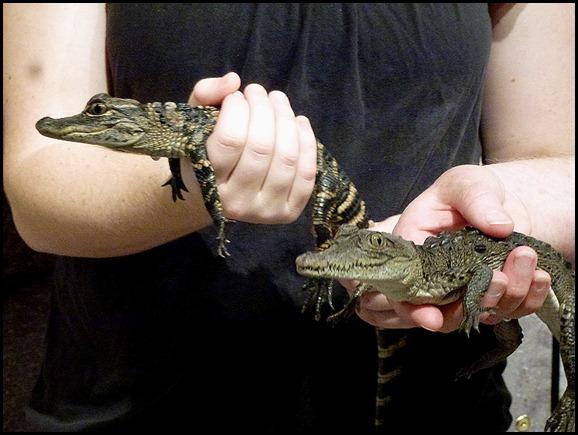 86c - Hobe Sound Nature Center - Alligator and Crocidile