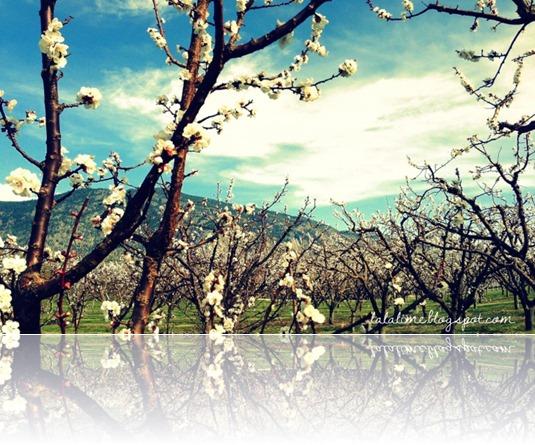 spring blossoms April 2013 (3)