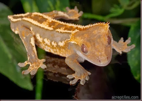 Amazing Animal Pictures crested geckos (1)